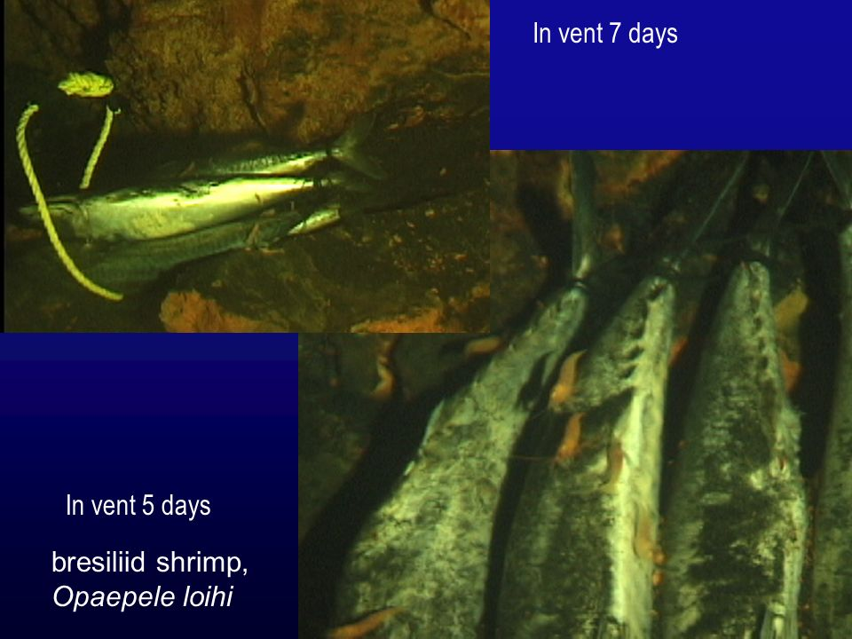 In vent 7 days In vent 5 days bresiliid shrimp, Opaepele loihi