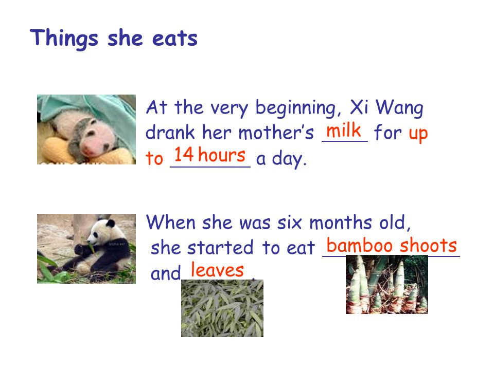 At the very beginning, Xi Wang drank her mothers for up to a day. milk 14 hours When she was six months old, she started to eat, and. bamboo shoots le