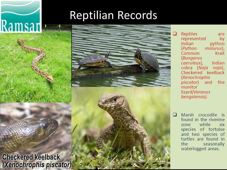 Reptilian Records Reptiles are represented by Indian python (Python molurus), Common Krait (Bungarus caeruleus), Indian cobra (Naja naja), Checkered k