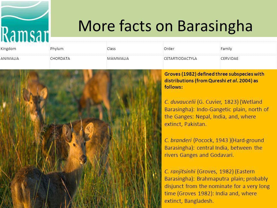 More facts on Barasingha KingdomPhylumClassOrderFamily ANIMALIACHORDATAMAMMALIACETARTIODACTYLACERVIDAE Groves (1982) defined three subspecies with dis