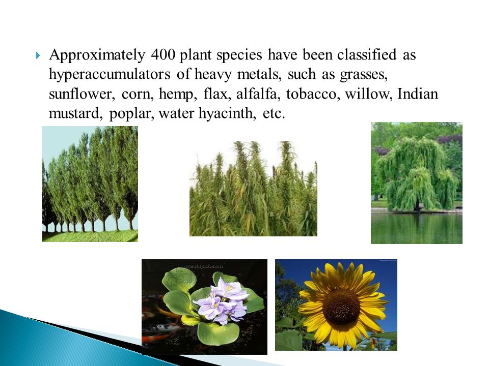 Approximately 400 plant species have been classified as hyperaccumulators of heavy metals, such as grasses, sunflower, corn, hemp, flax, alfalfa, toba