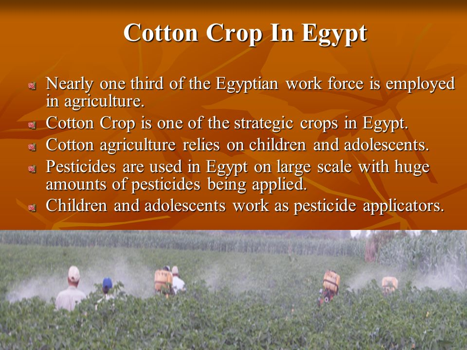 Cotton Crop In Egypt Nearly one third of the Egyptian work force is employed in agriculture.