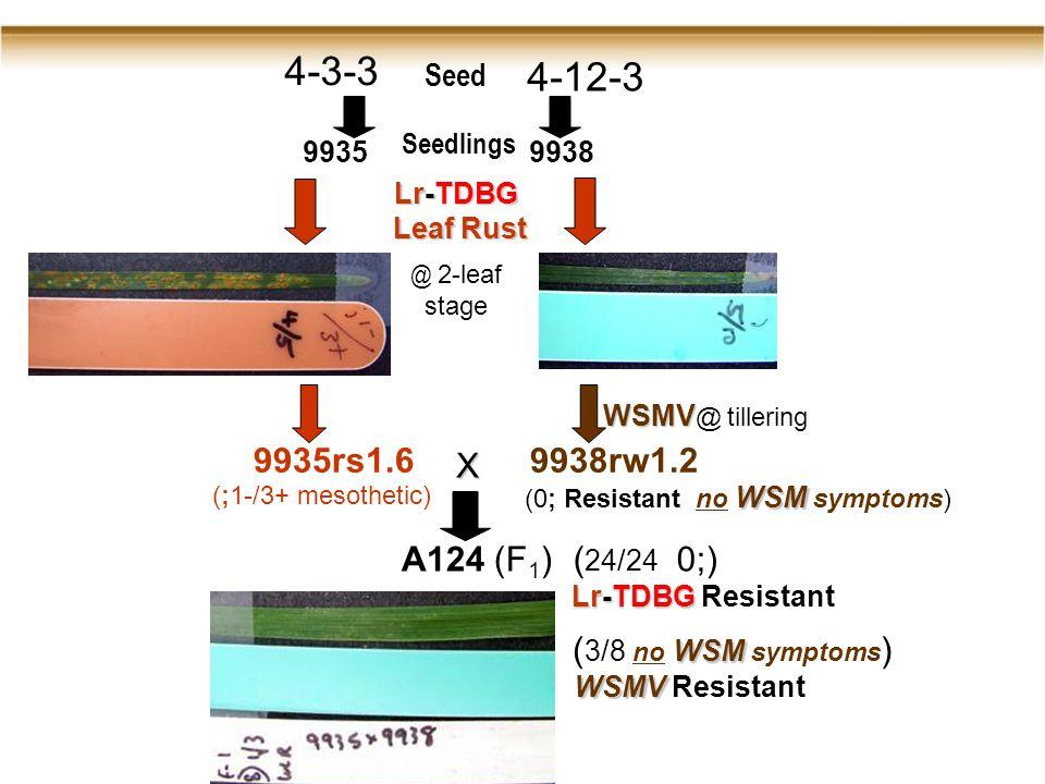 4-3-3 4-12-3 99359938 0 9935rs1.69938rw1.2 (;1-/3+ mesothetic) WSM (0; Resistant no WSM symptoms) X A124 (F 1 )( 24/24 0;) Lr-TDBG Lr-TDBG Resistant Seed Seedlings Lr-TDBG Leaf Rust @ 2-leaf stage WSMV WSMV @ tillering WSM ( 3/8 no WSM symptoms ) WSMV WSMV Resistant