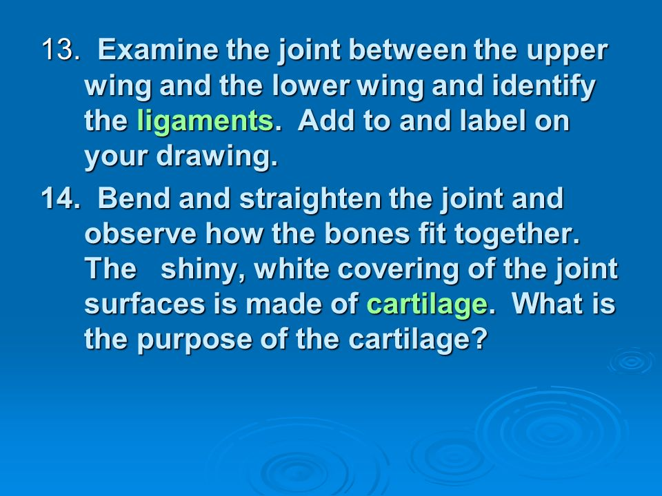 13. Examine the joint between the upper wing and the lower wing and identify the ligaments. Add to and label on your drawing. 14. Bend and straighten