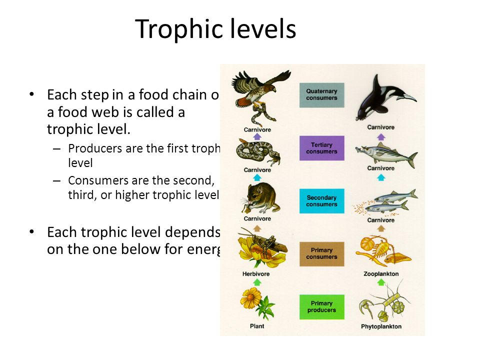 Trophic levels Each step in a food chain or a food web is called a trophic level. – Producers are the first trophic level – Consumers are the second,