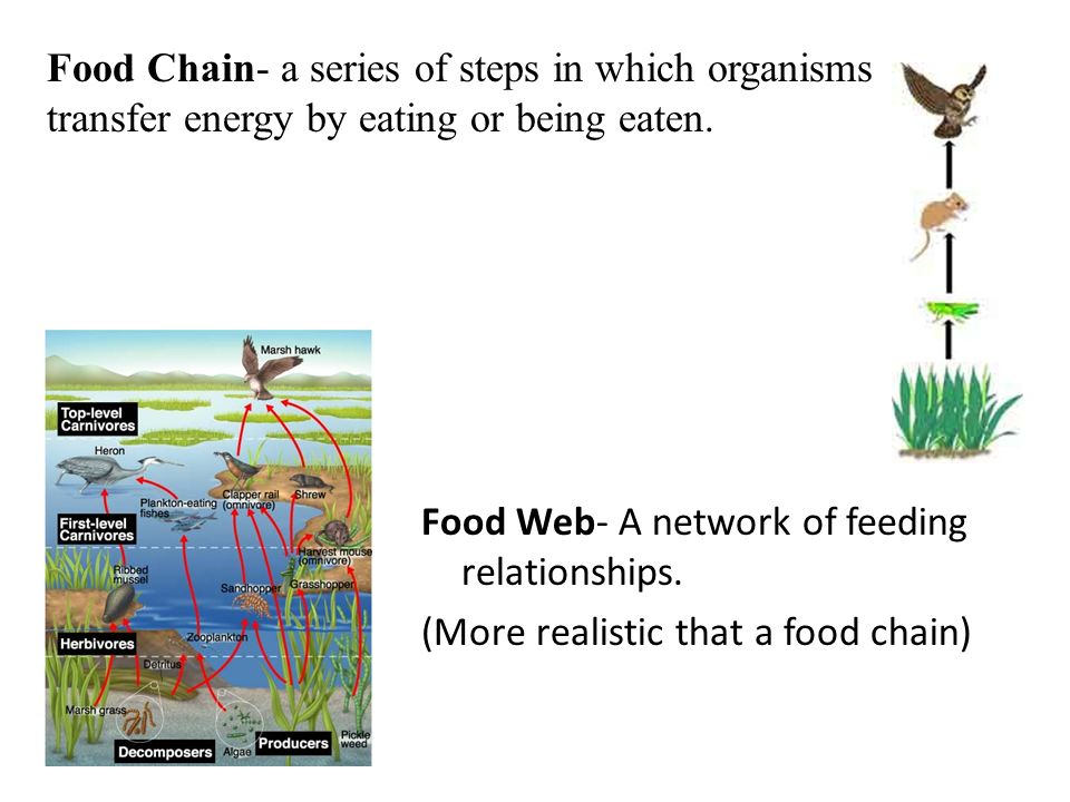 Food Web- A network of feeding relationships. (More realistic that a food chain) Food Chain- a series of steps in which organisms transfer energy by e