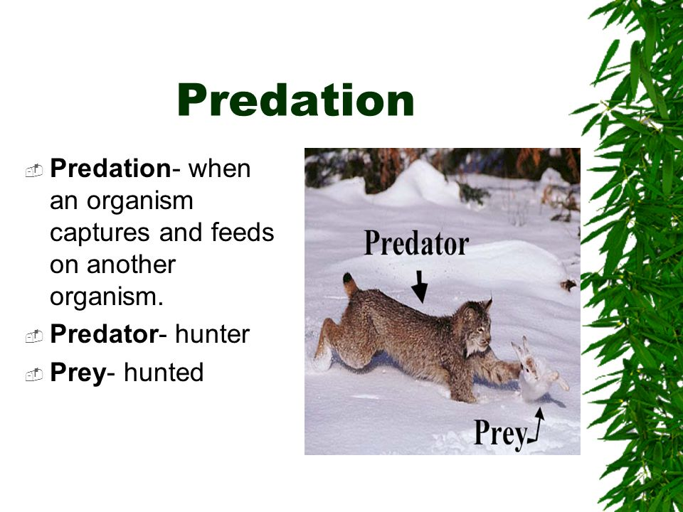 Predation Predation- when an organism captures and feeds on another organism. Predator- hunter Prey- hunted