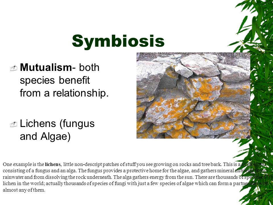 Symbiosis Mutualism- both species benefit from a relationship. Lichens (fungus and Algae) One example is the lichens, little non-descript patches of s