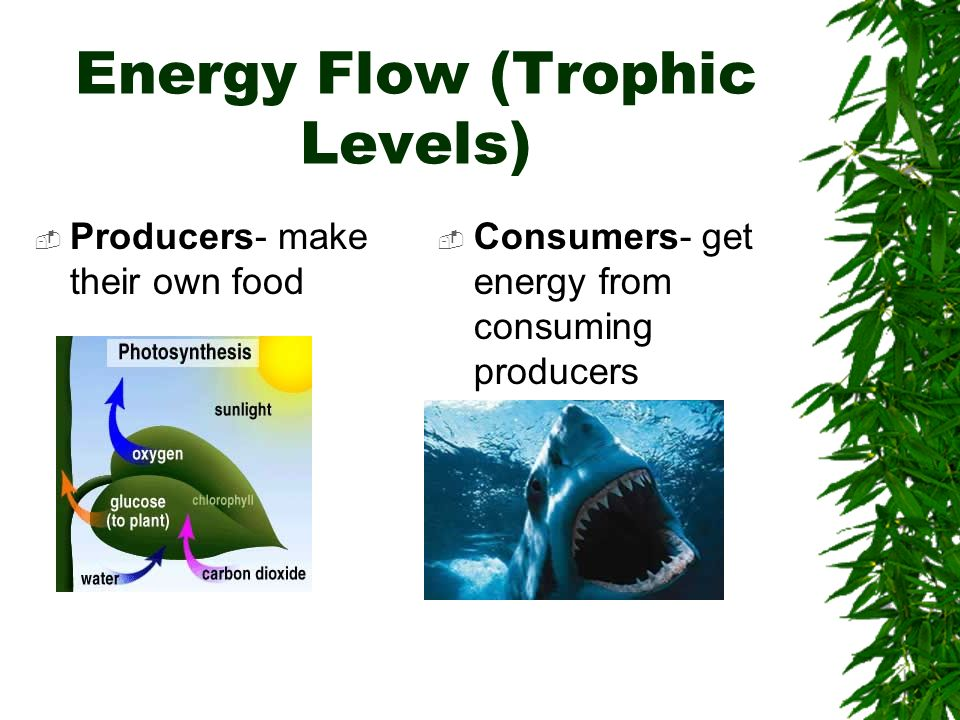 Energy Flow (Trophic Levels) Producers- make their own food Consumers- get energy from consuming producers