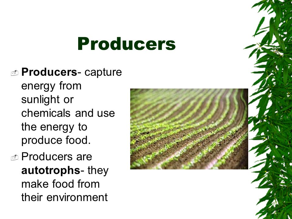 Producers Producers- capture energy from sunlight or chemicals and use the energy to produce food. Producers are autotrophs- they make food from their