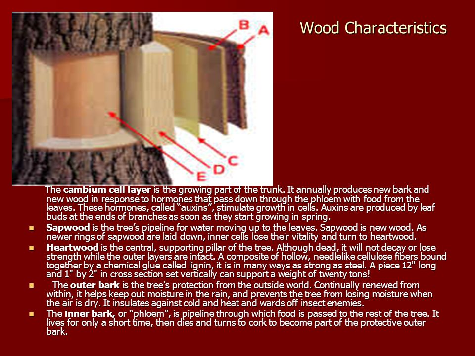 Wood Characteristics The Inside Story The Inside Story The cambium cell layer is the growing part of the trunk. It annually produces new bark and new