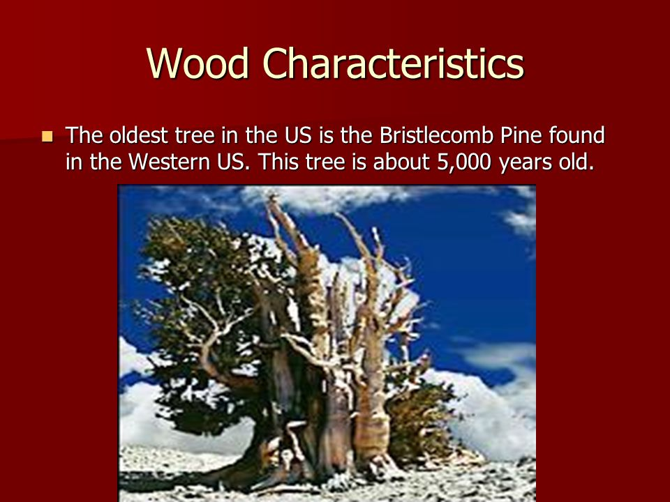 Wood Characteristics The oldest tree in the US is the Bristlecomb Pine found in the Western US. This tree is about 5,000 years old. The oldest tree in