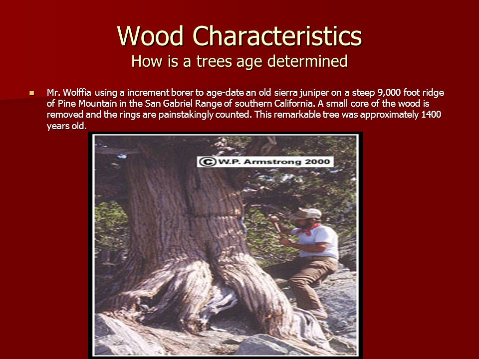 Wood Characteristics How is a trees age determined Mr. Wolffia using a increment borer to age-date an old sierra juniper on a steep 9,000 foot ridge o