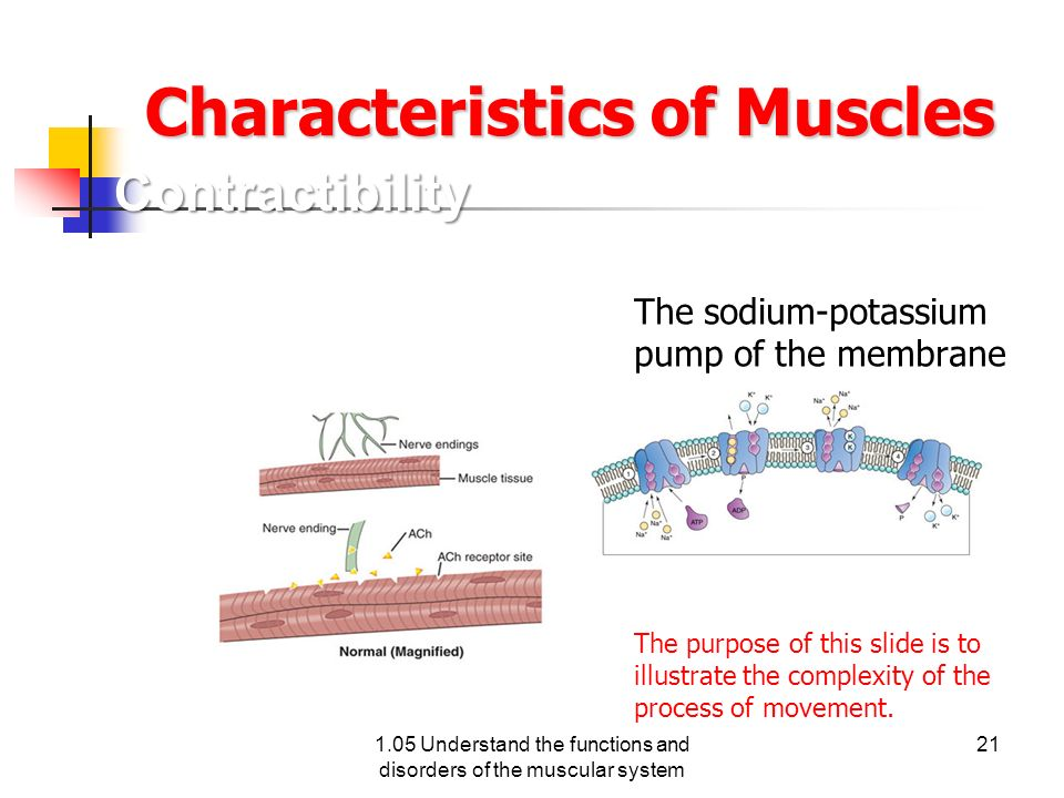 Characteristics of Muscles The sodium-potassium pump of the membrane of a muscle cell. The purpose of this slide is to illustrate the complexity of th