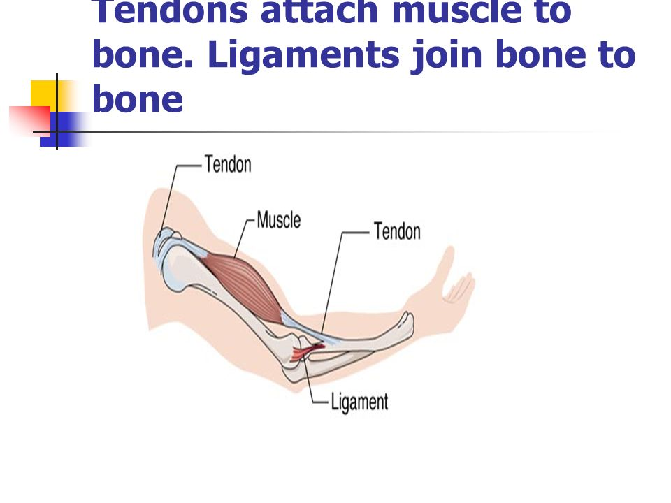 Tendons attach muscle to bone. Ligaments join bone to bone