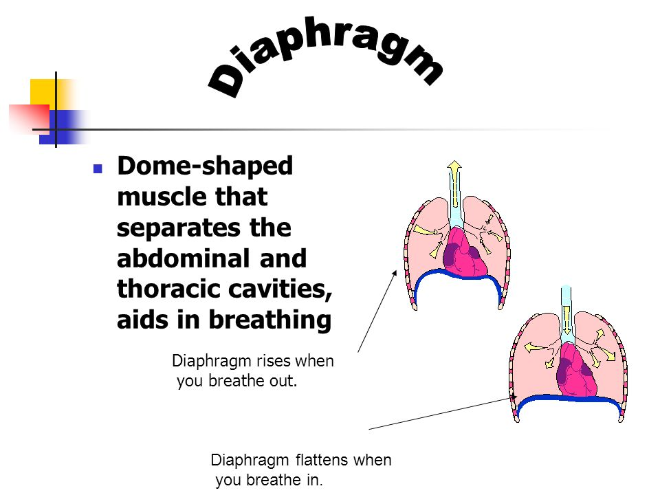 Dome-shaped muscle that separates the abdominal and thoracic cavities, aids in breathing Diaphragm flattens when you breathe in. Diaphragm rises when