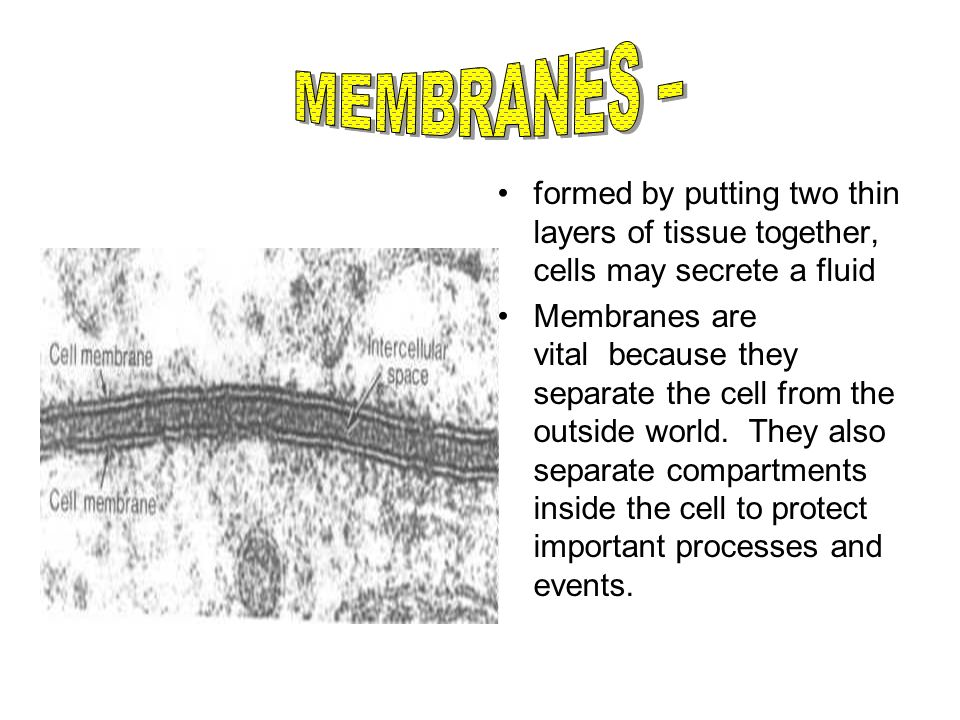 formed by putting two thin layers of tissue together, cells may secrete a fluid Membranes are vital because they separate the cell from the outside wo