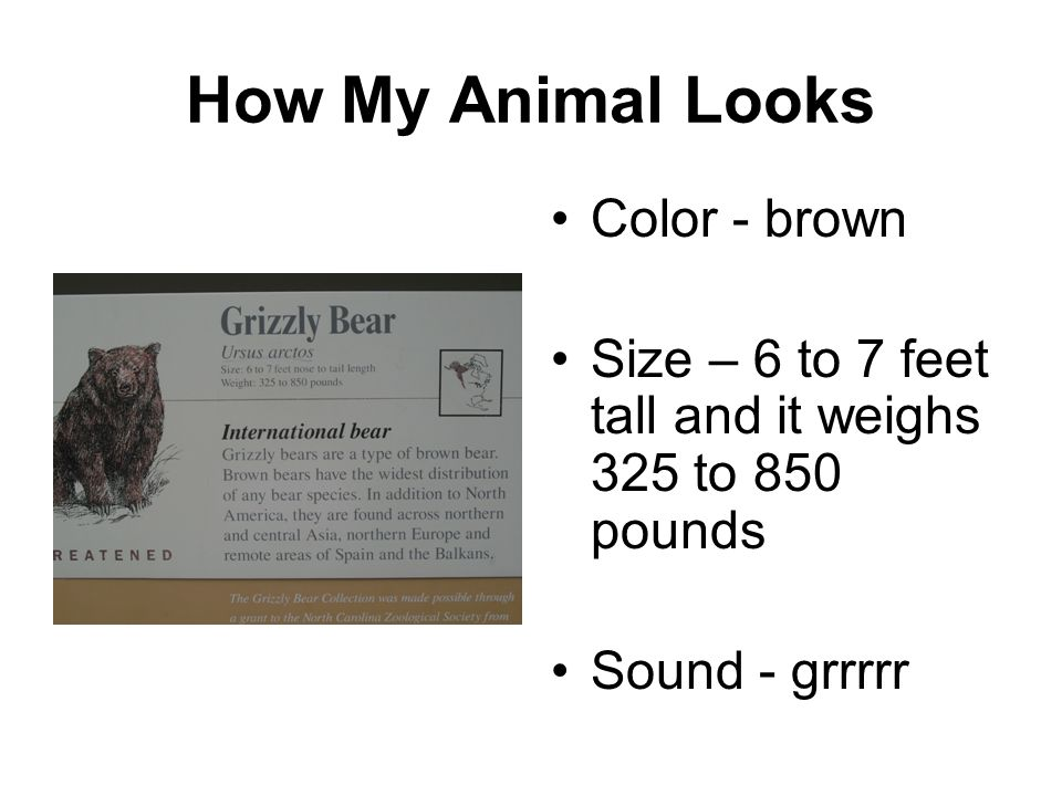 How My Animal Looks Color - brown Size – 6 to 7 feet tall and it weighs 325 to 850 pounds Sound - grrrrr