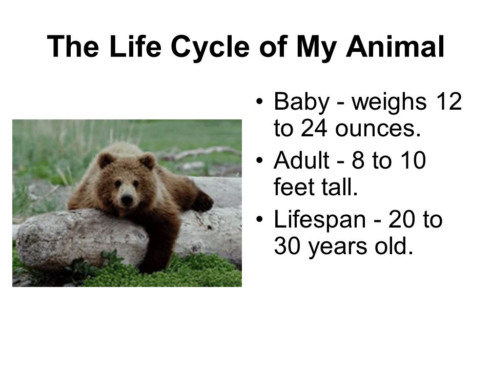 The Life Cycle of My Animal Baby - weighs 12 to 24 ounces. Adult - 8 to 10 feet tall. Lifespan - 20 to 30 years old.