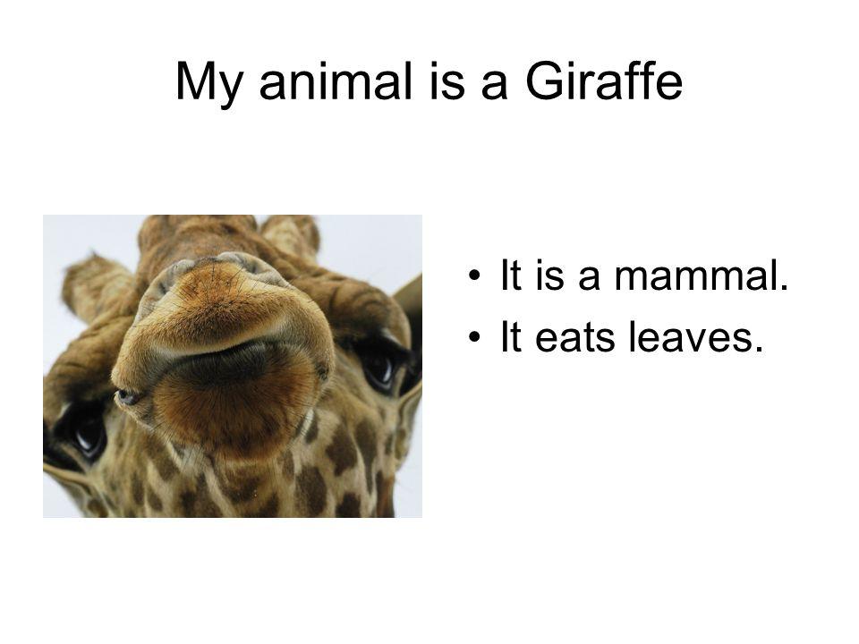 It is a mammal. It eats leaves. My animal is a Giraffe