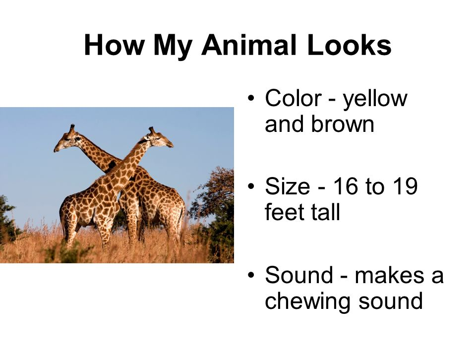 How My Animal Looks Color - yellow and brown Size - 16 to 19 feet tall Sound - makes a chewing sound