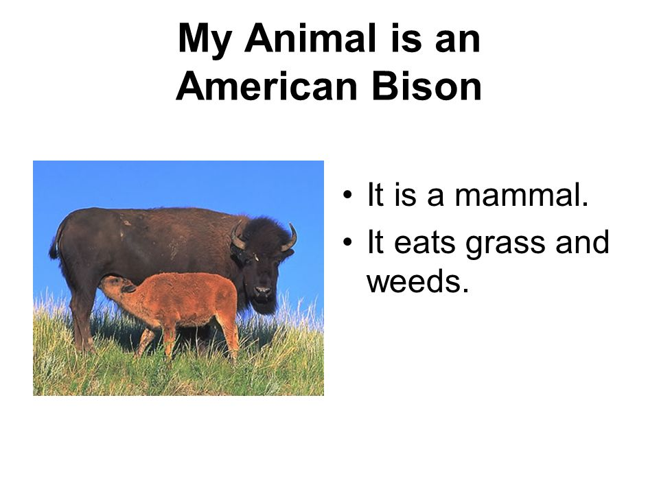 My Animal is an American Bison It is a mammal. It eats grass and weeds.
