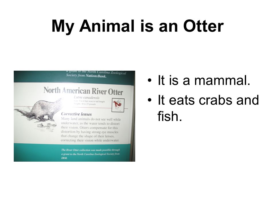 My Animal is an Otter It is a mammal. It eats crabs and fish.
