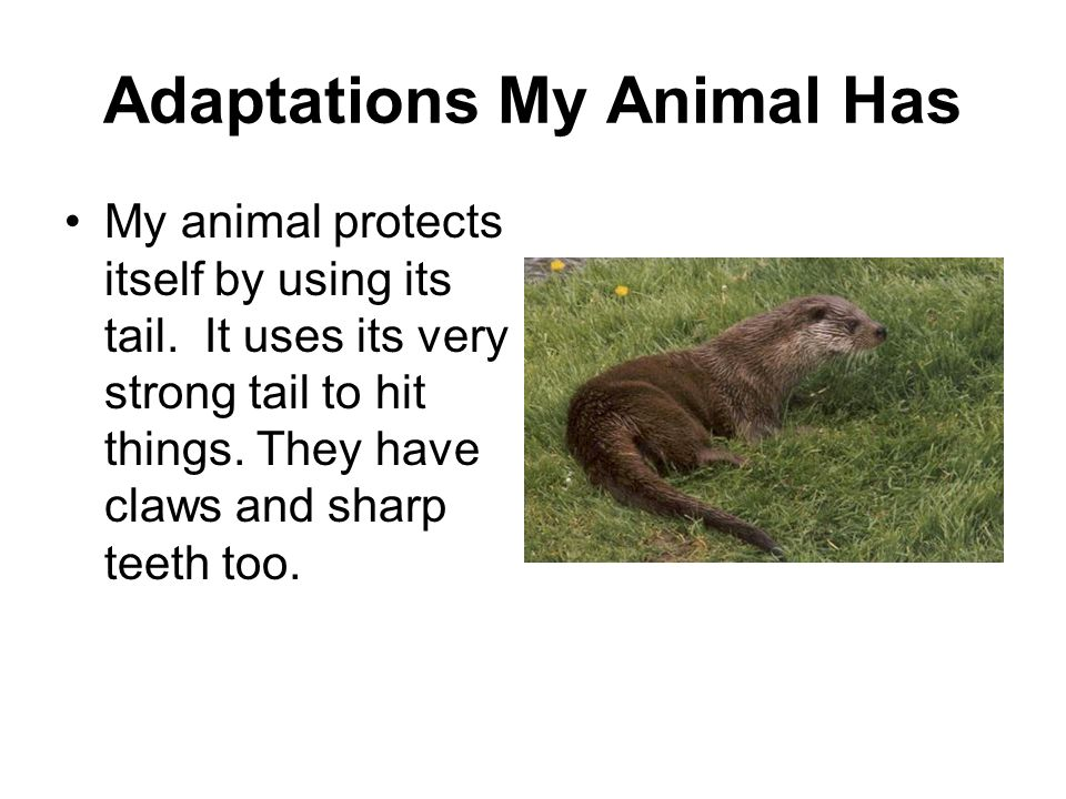 Adaptations My Animal Has My animal protects itself by using its tail. It uses its very strong tail to hit things. They have claws and sharp teeth too