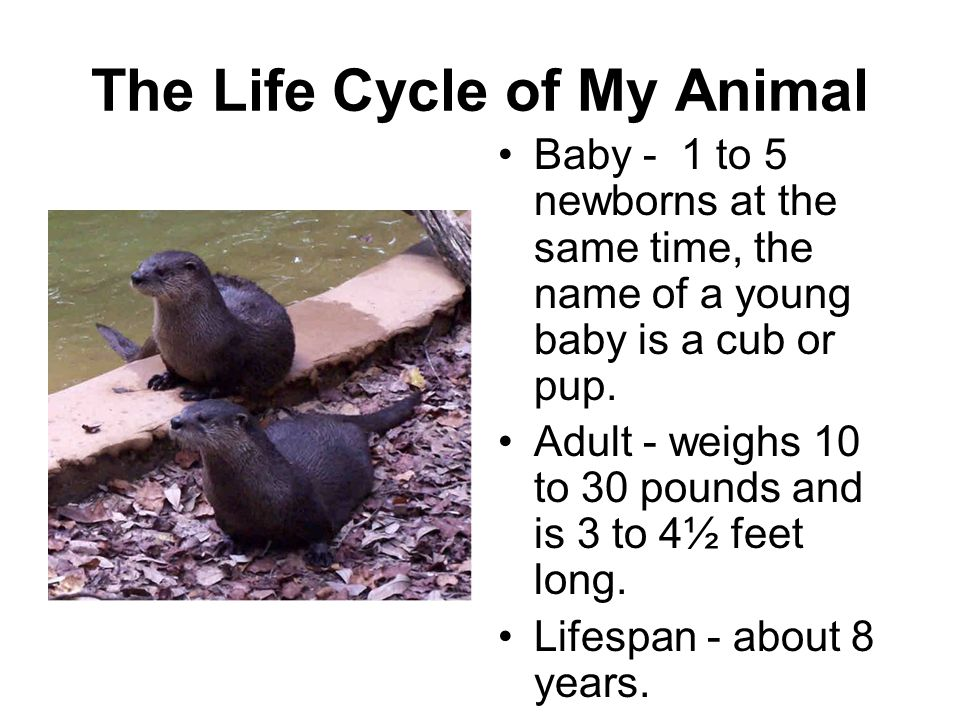 The Life Cycle of My Animal Baby - 1 to 5 newborns at the same time, the name of a young baby is a cub or pup. Adult - weighs 10 to 30 pounds and is 3