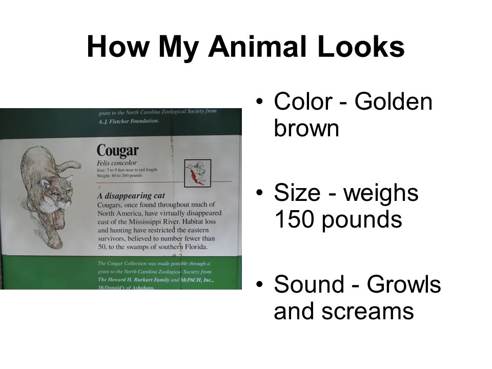 How My Animal Looks Color - Golden brown Size - weighs 150 pounds Sound - Growls and screams