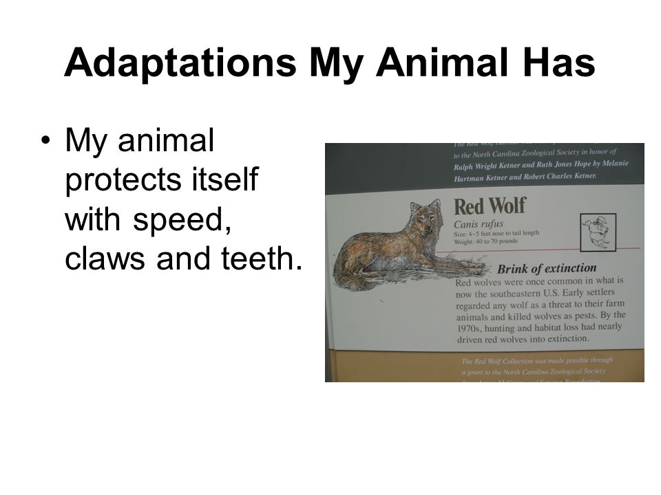 Adaptations My Animal Has My animal protects itself with speed, claws and teeth.