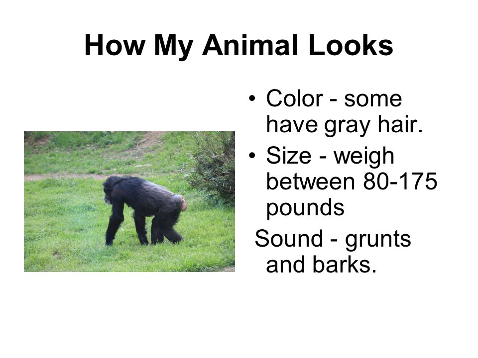 How My Animal Looks Color - some have gray hair. Size - weigh between 80-175 pounds Sound - grunts and barks.