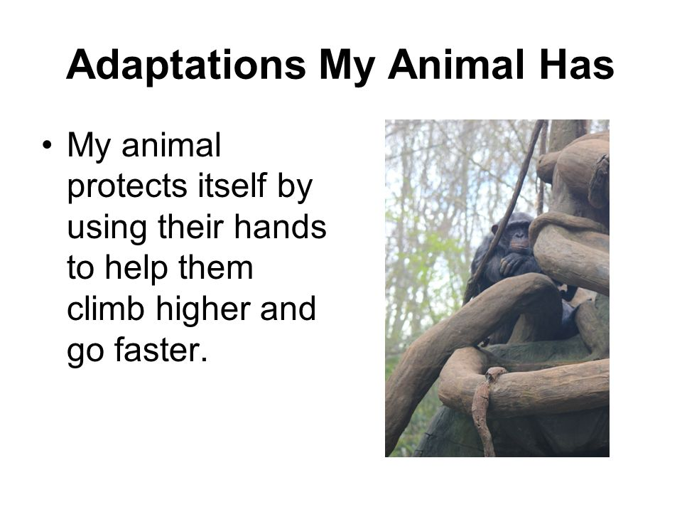 Adaptations My Animal Has My animal protects itself by using their hands to help them climb higher and go faster.