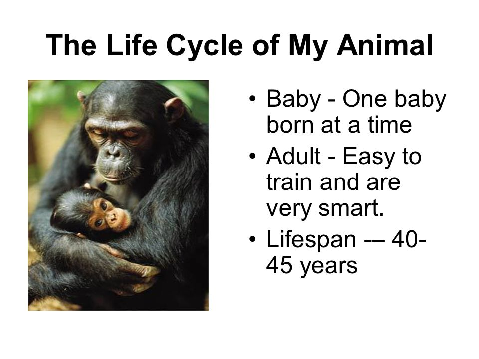 The Life Cycle of My Animal Baby - One baby born at a time Adult - Easy to train and are very smart. Lifespan -– 40- 45 years