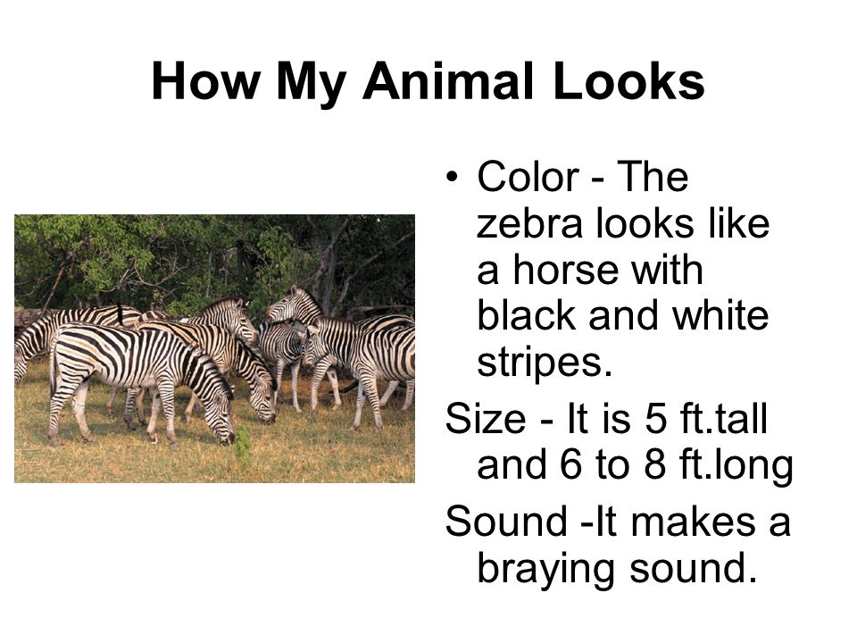 How My Animal Looks Color - The zebra looks like a horse with black and white stripes. Size - It is 5 ft.tall and 6 to 8 ft.long Sound -It makes a bra