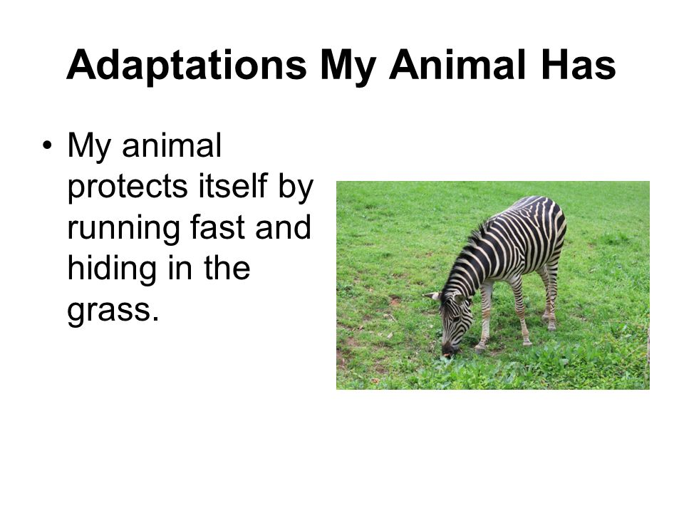 Adaptations My Animal Has My animal protects itself by running fast and hiding in the grass.