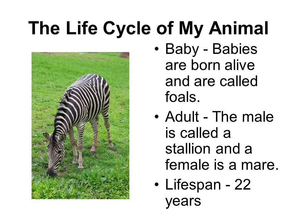The Life Cycle of My Animal Baby - Babies are born alive and are called foals. Adult - The male is called a stallion and a female is a mare. Lifespan