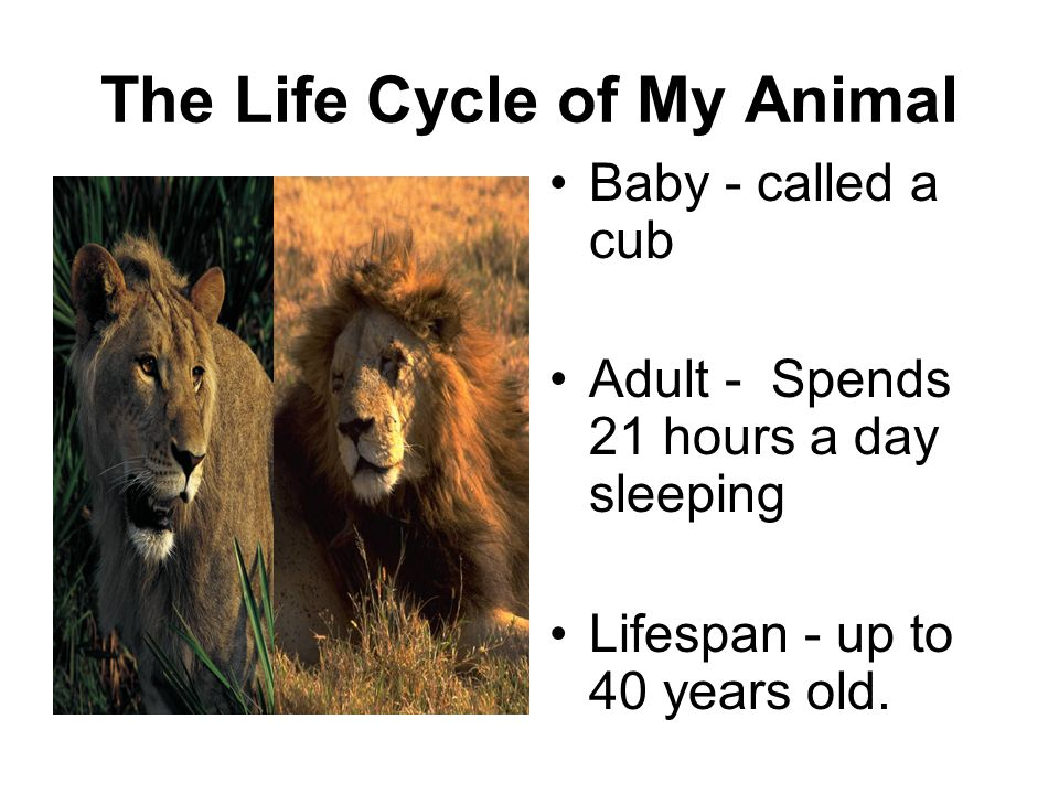 The Life Cycle of My Animal Baby - called a cub Adult - Spends 21 hours a day sleeping Lifespan - up to 40 years old.