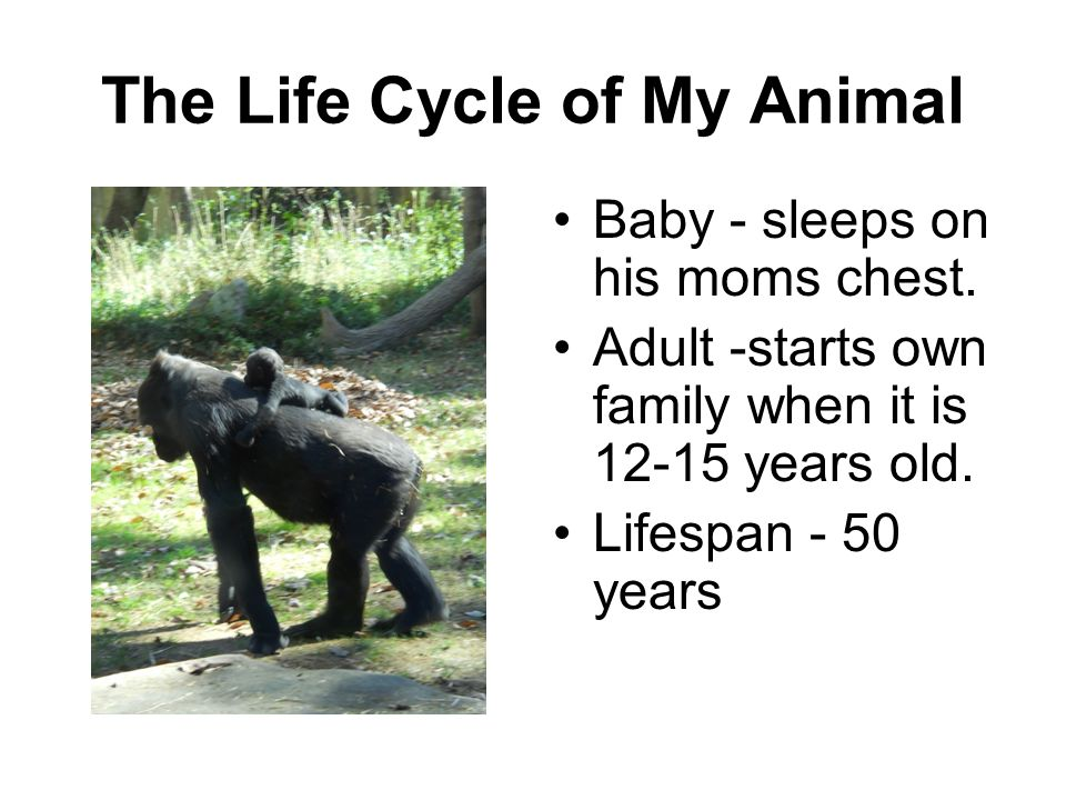 The Life Cycle of My Animal Baby - sleeps on his moms chest. Adult -starts own family when it is 12-15 years old. Lifespan - 50 years