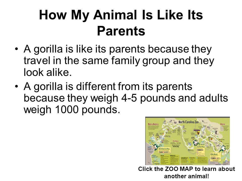 How My Animal Is Like Its Parents A gorilla is like its parents because they travel in the same family group and they look alike. A gorilla is differe