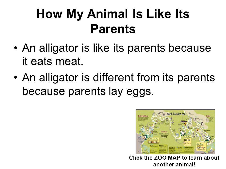 How My Animal Is Like Its Parents An alligator is like its parents because it eats meat. An alligator is different from its parents because parents la