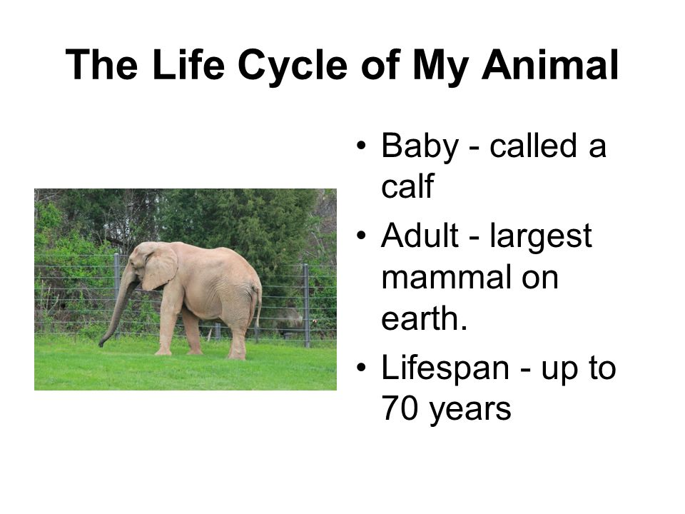The Life Cycle of My Animal Baby - called a calf Adult - largest mammal on earth. Lifespan - up to 70 years