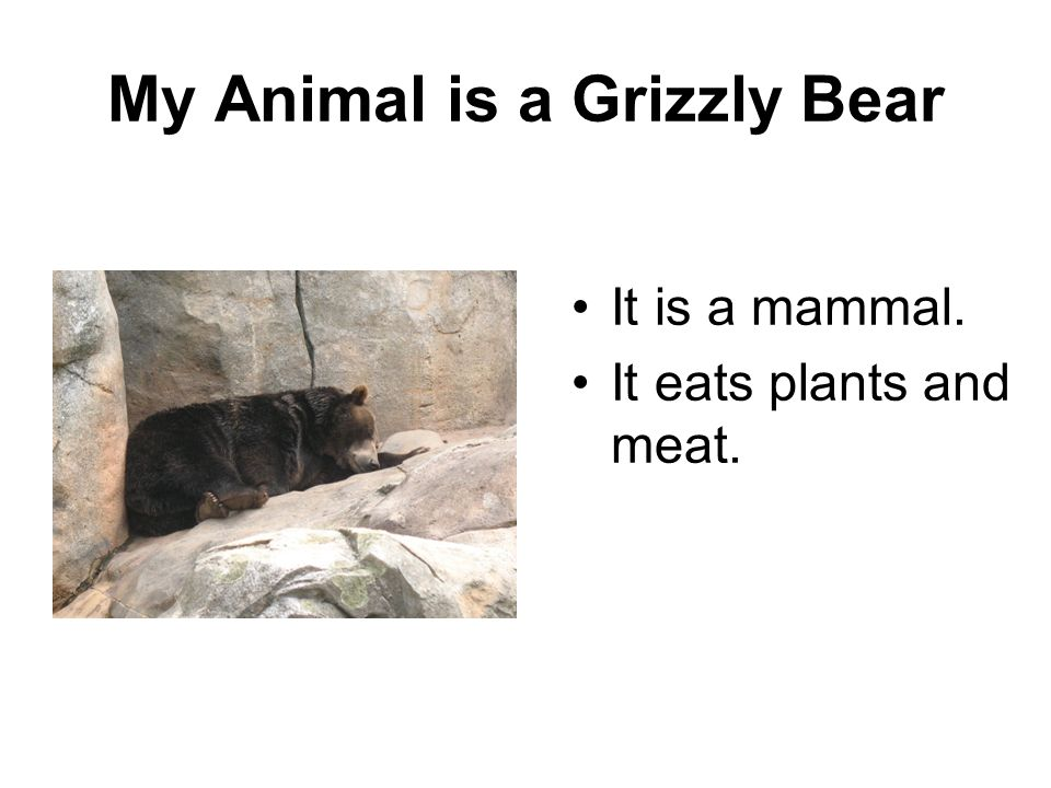 My Animal is a Grizzly Bear It is a mammal. It eats plants and meat.