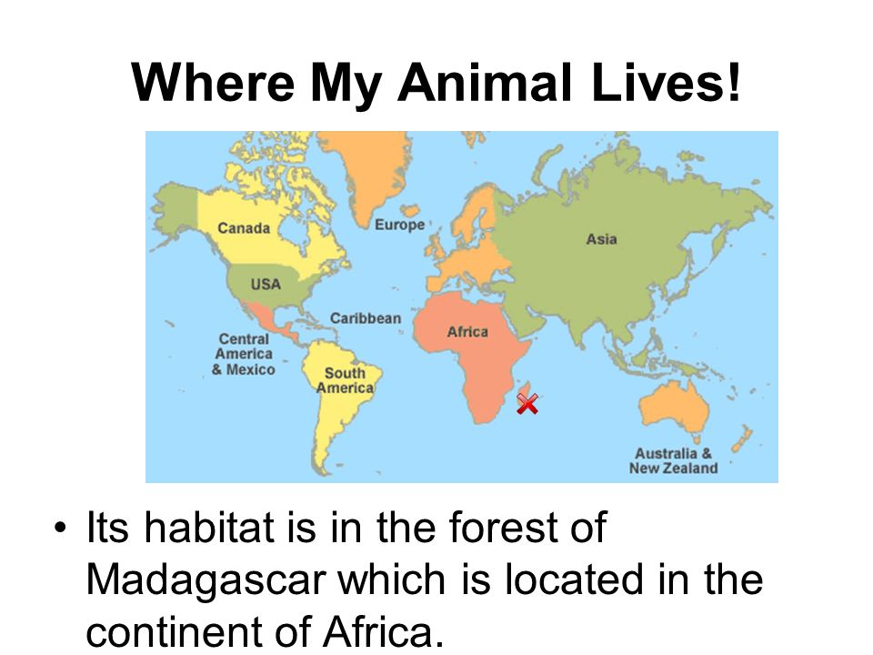Where My Animal Lives! Its habitat is in the forest of Madagascar which is located in the continent of Africa.
