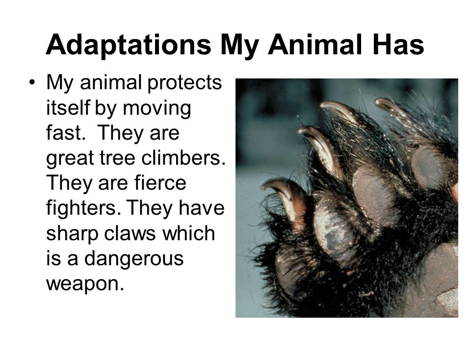 Adaptations My Animal Has My animal protects itself by moving fast. They are great tree climbers. They are fierce fighters. They have sharp claws whic
