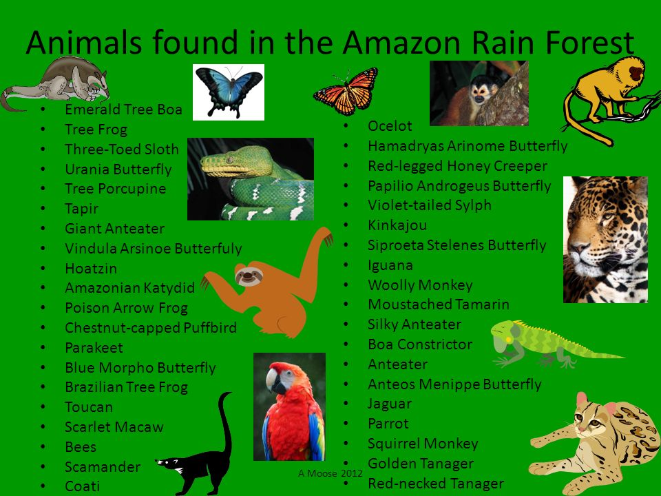 A Moose 2012 Animals found in the Amazon Rain Forest Emerald Tree Boa Tree Frog Three-Toed Sloth Urania Butterfly Tree Porcupine Tapir Giant Anteater