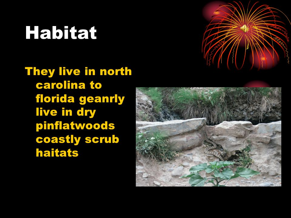 Habitat They live in north carolina to florida geanrly live in dry pinflatwoods coastly scrub haitats