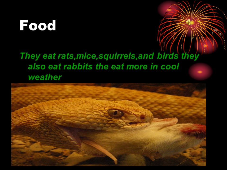 Food They eat rats,mice,squirrels,and birds they also eat rabbits the eat more in cool weather