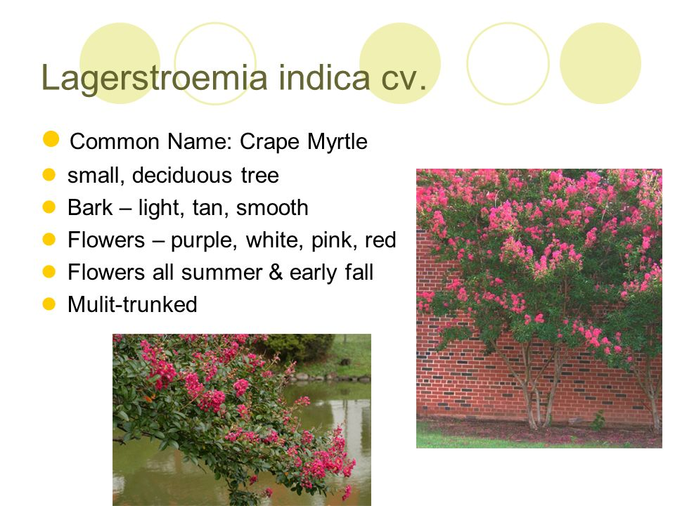 Lagerstroemia indica cv. Common Name: Crape Myrtle small, deciduous tree Bark – light, tan, smooth Flowers – purple, white, pink, red Flowers all summ