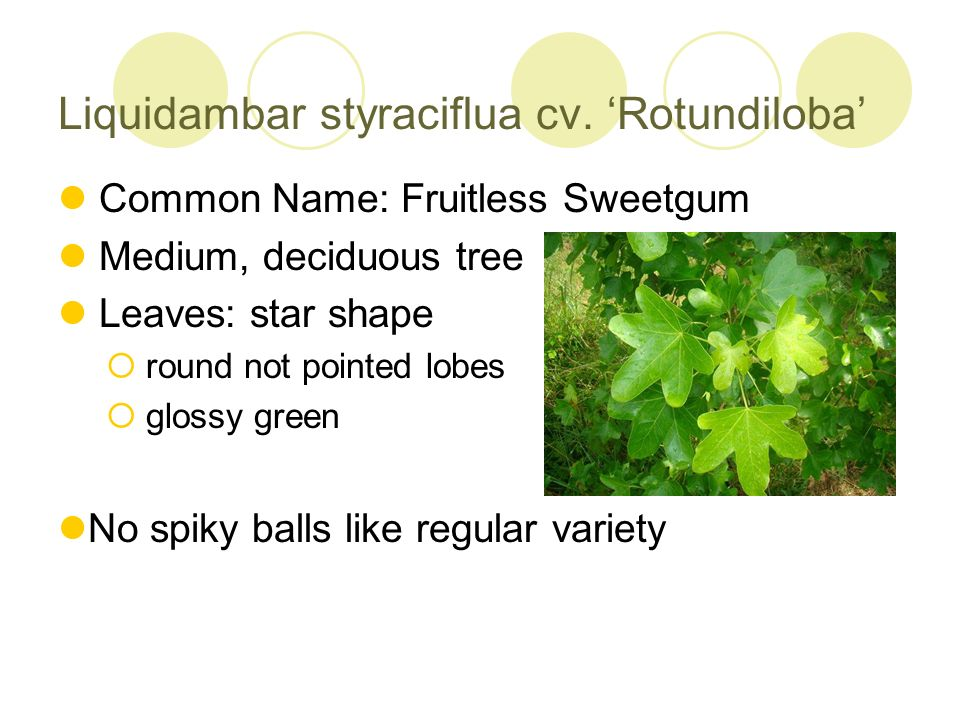 Liquidambar styraciflua cv. Rotundiloba Common Name: Fruitless Sweetgum Medium, deciduous tree Leaves: star shape round not pointed lobes glossy green
